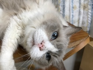 飼い猫 そら ラグドール